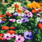 アネモネの育て方!プランターできれいに咲かせるための極意