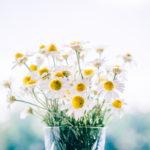 カモミールの花が咲かない?収穫に向けた育て方!
