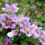 クレマチスの育て方!3つの咲き方タイプで違う剪定方法!