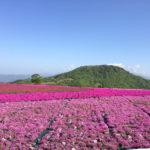 芝桜の育て方!グリーンカバーで使いたい人気の花!