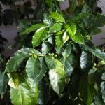 コーヒーの木の育て方!よくある2つのお悩みもこれで解決!