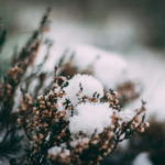 寒さに強い花7選!プランターで育てる注意点も一緒に紹介!