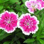 ナデシコの育て方!3つの「良い」で半年間開花させる方法!