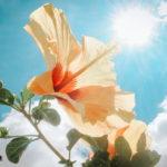 ハイビスカスの育て方!花を咲かせるには植え替えがポイント!