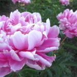 芍薬の育て方!きれいな花を咲かせるには購入時期がポイント!