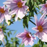 皇帝ダリアの育て方!一生懸命お世話しても花が咲かない原因は?