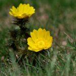 福寿草の育て方!たくさん花を咲かせる秘訣!