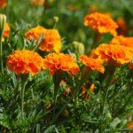マリーゴールドの花言葉に隠された本当の意味とは?